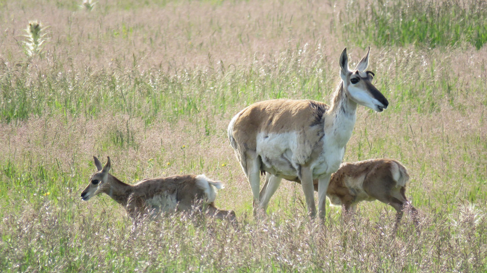 Yellowstone-Day-Tour-Pronghorn-with-calv