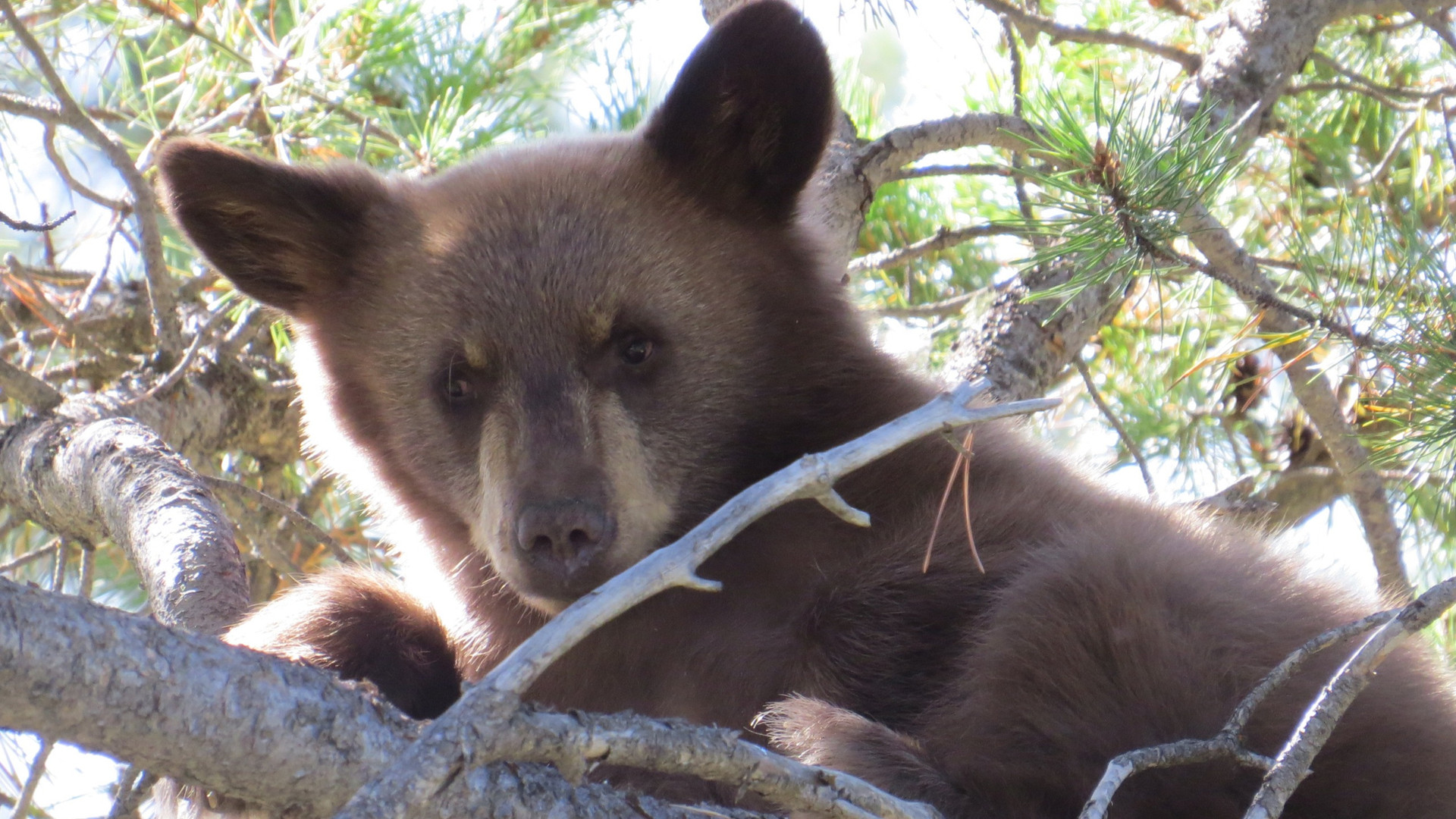 Yellowstone-Guided-Tour-Bear-Cub