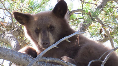 Yellowstone-Guided-Tour-Bear-Cub