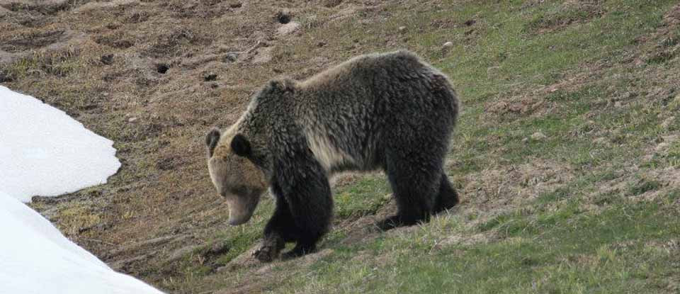 yellowstone-park-tour-grizzly.jpg