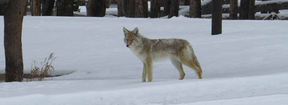 Yellowstone-Tour-Coyote.jpg