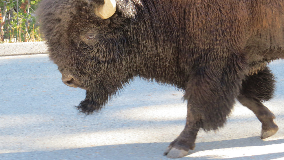 Yellowstone-day-tours-bison-on-road.JPG