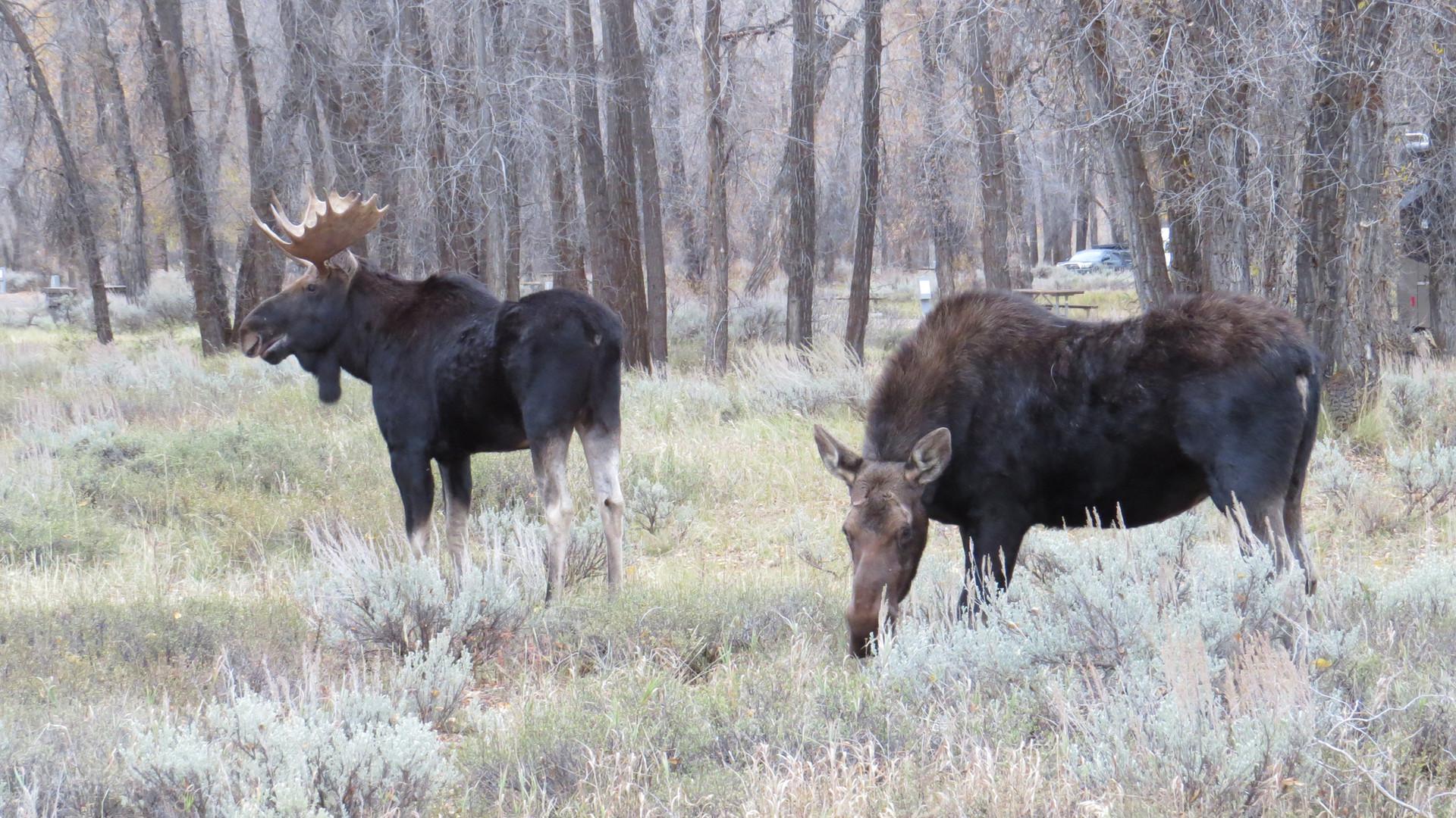 grand-teton-national-park-tour-moose