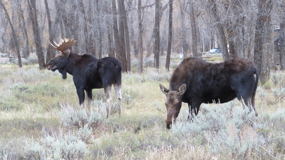 grand-teton-national-park-tour-moose