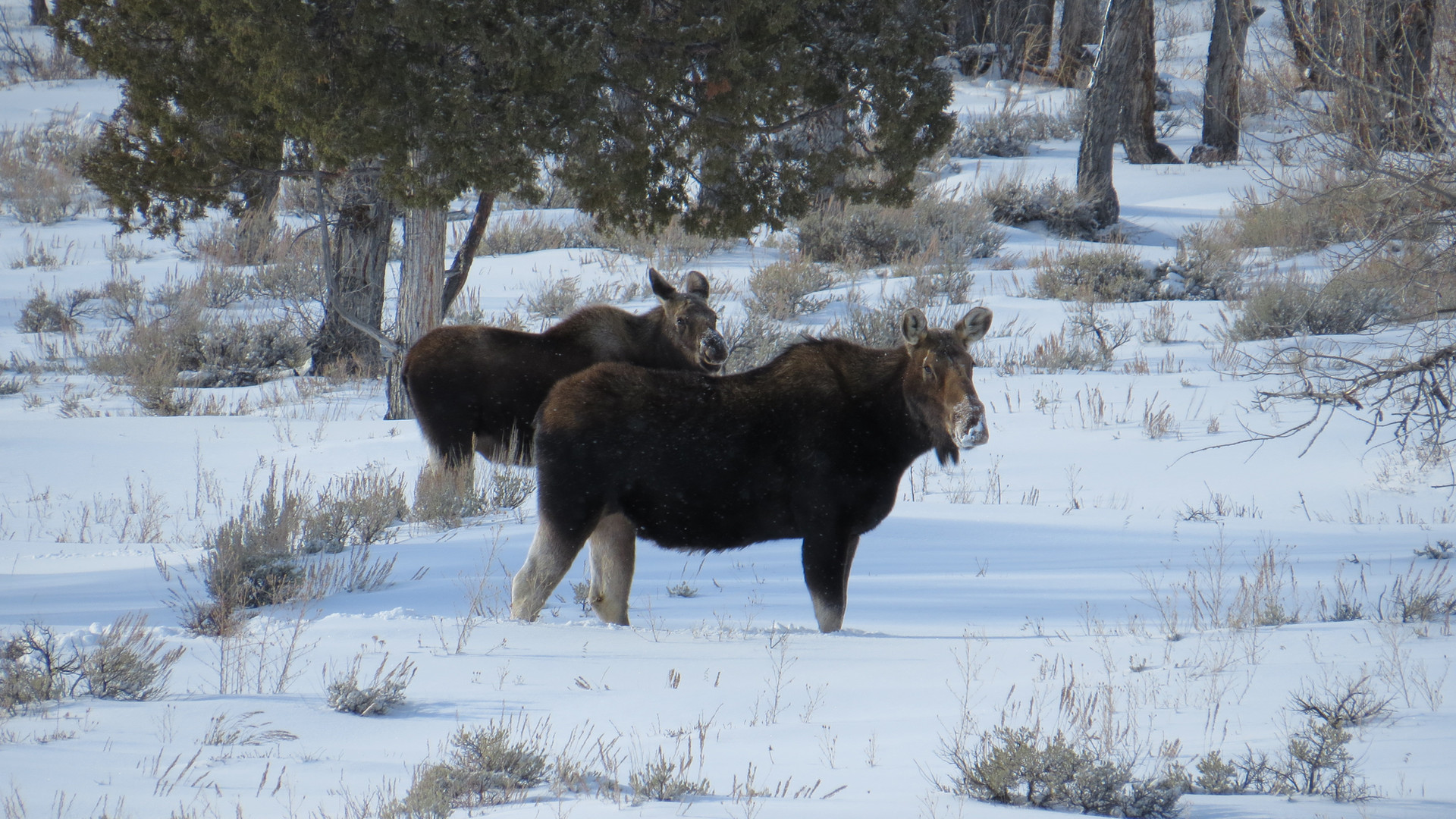 Jackson-hole-wildlife-tour-2moose.JPG