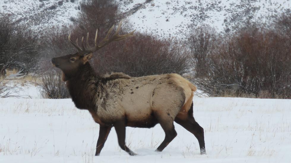 jackson-hole-wildlife-tour-elk-1.JPG