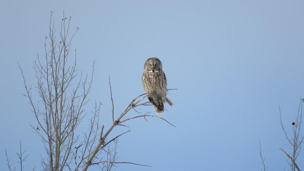 yellowstone-tour-barn-owl.JPG