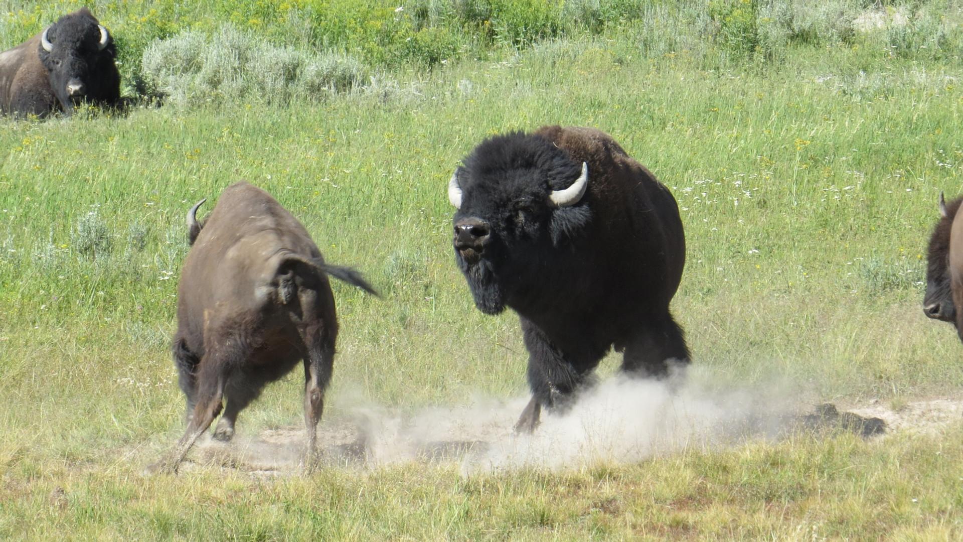 yellowstone-tour-bison-rut