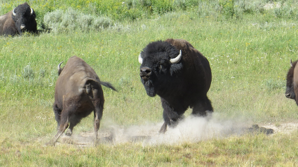 yellowstone-tour-bison-rut