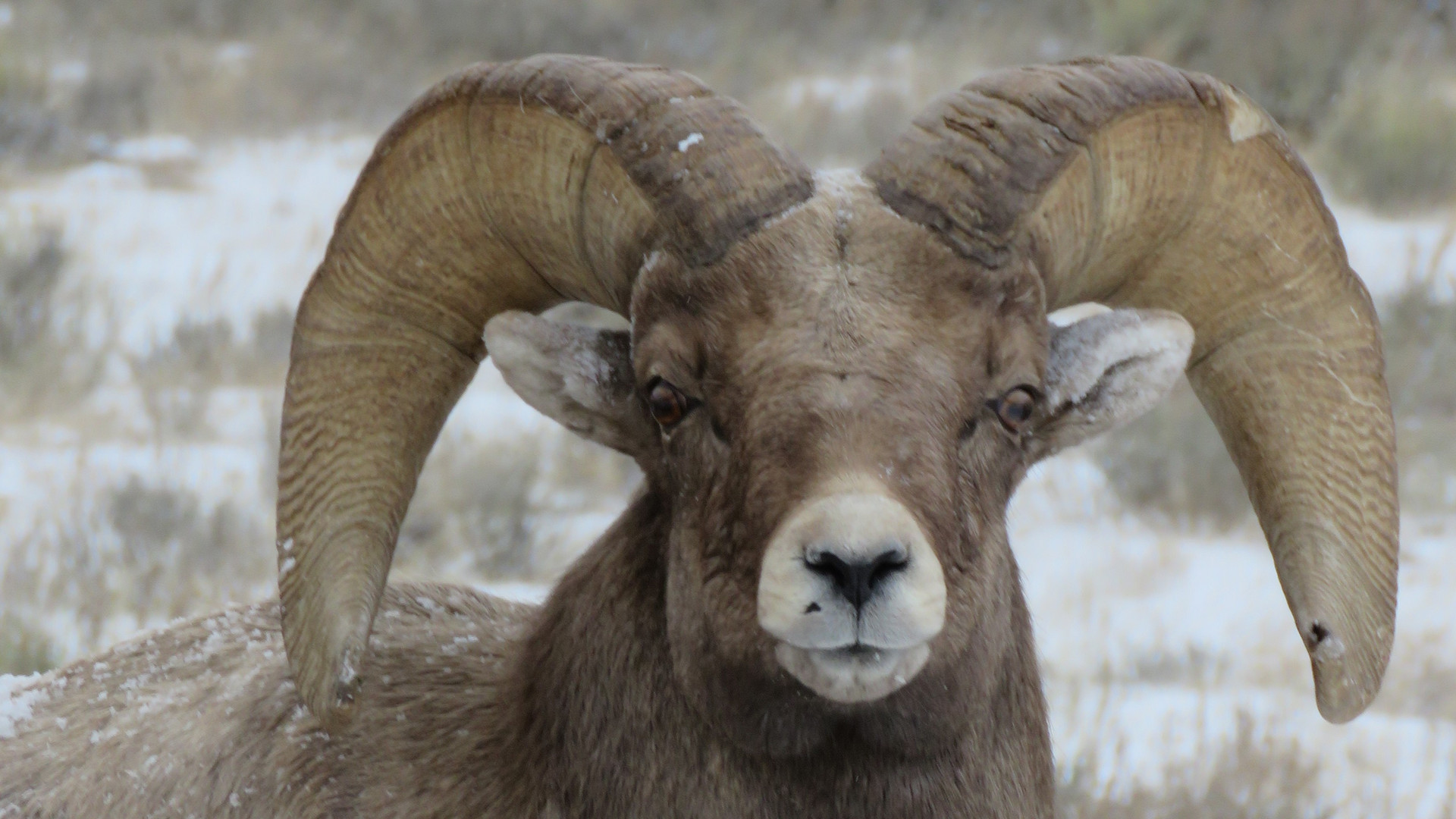 Jackson-hole-wildlife-tour-big-horn-shee