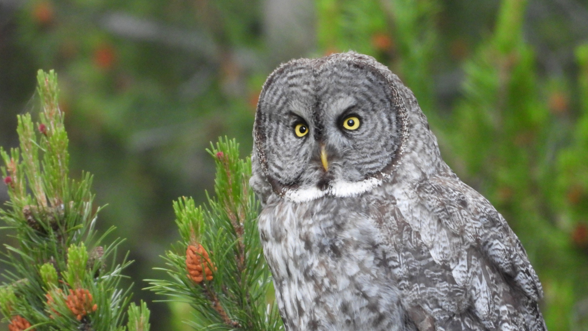 Yellowstone-Day-Tour-Gray-Owl.JPG