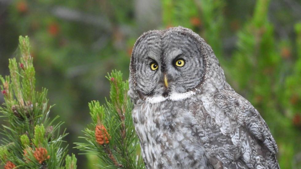 Yellowstone-Day-Tour-Gray-Owl.JPG