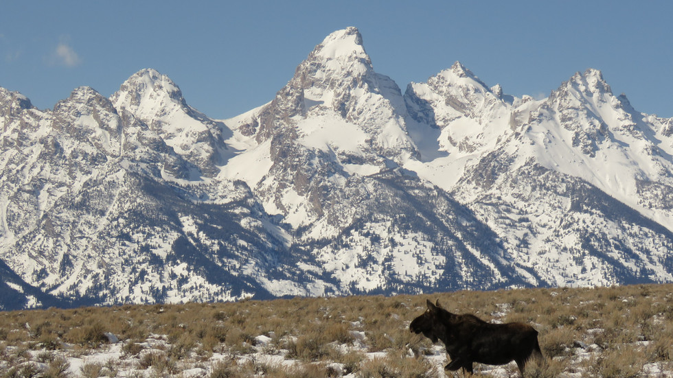 Jackson-hole-wildlife-tour-tetons-moose.