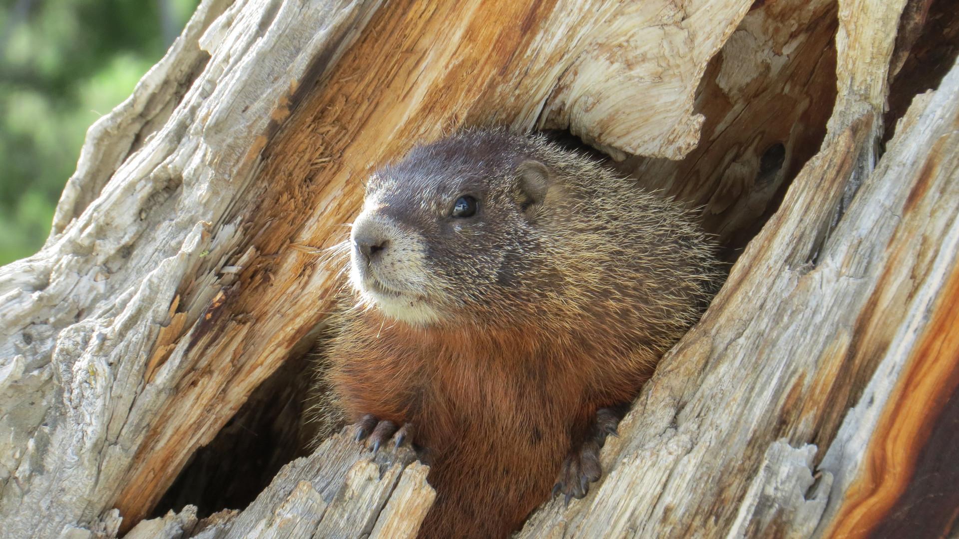 grand-teton-national-park-tour-marmot.jp