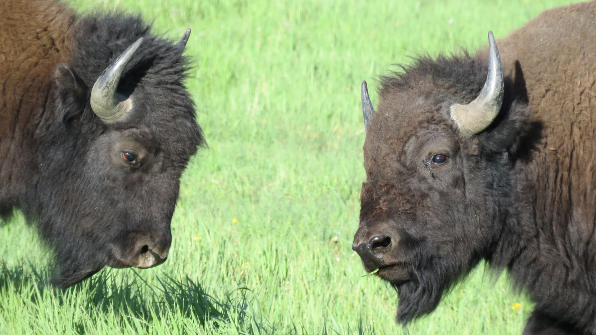 Yellowstone-Day-Tour-bison.JPG