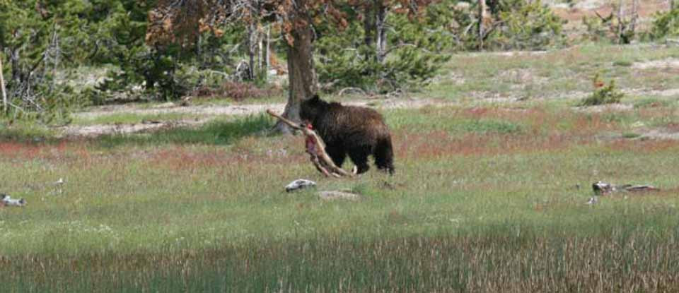 yellowstone-grizzly-with-carcass.jpg