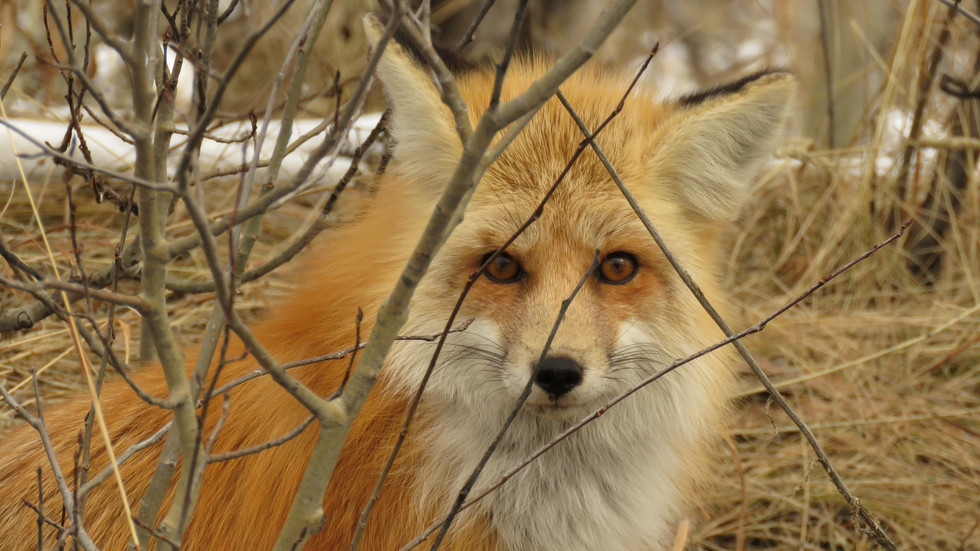 Yellowstone-Day-Tours-Red-Fox