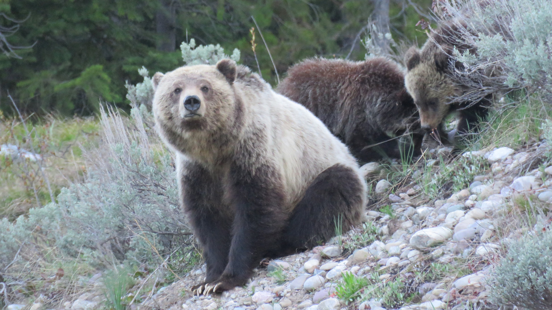 Yellowstone-day-tours-Grizzly-bear