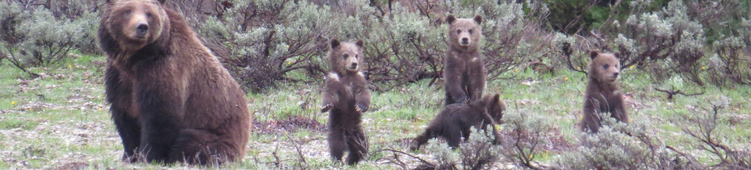 Yellowstone-National-Park-Tours-Grizzly-