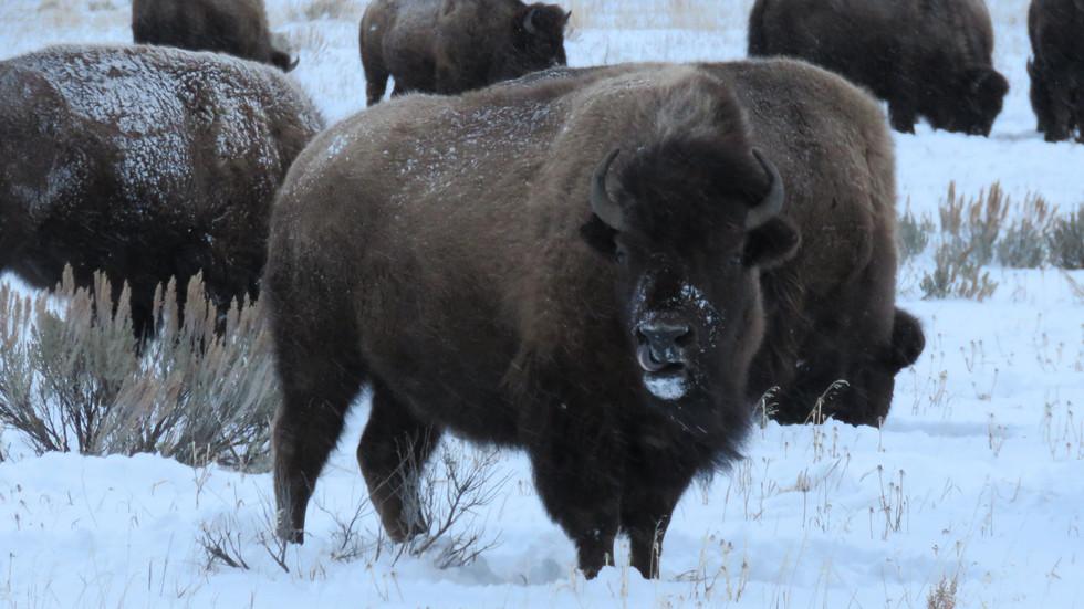 jackson-hole-wildlife-tour-bison-2.JPG