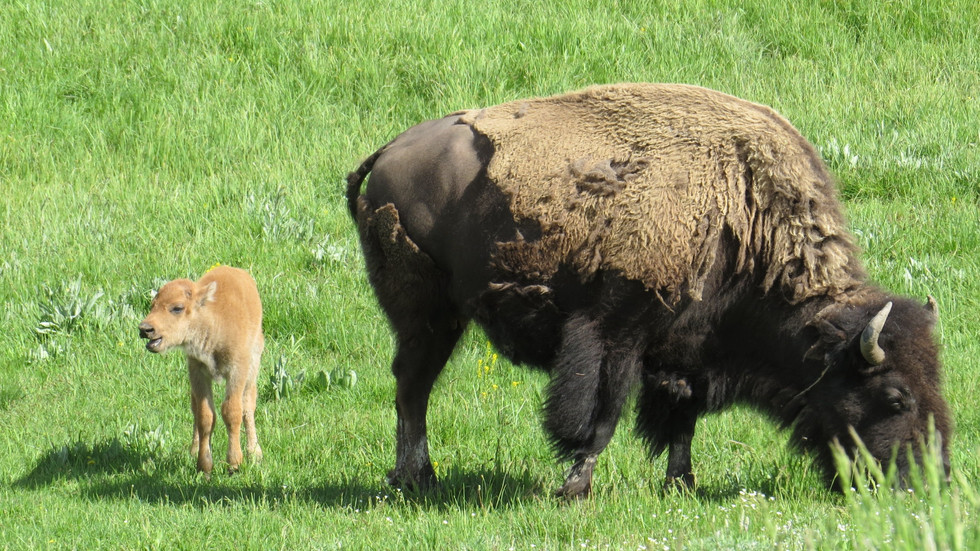 Yellowstone-tour-bison-and-calf