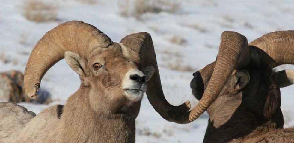 jackson-hole-wildlife-tour-Big-Horn-Shee
