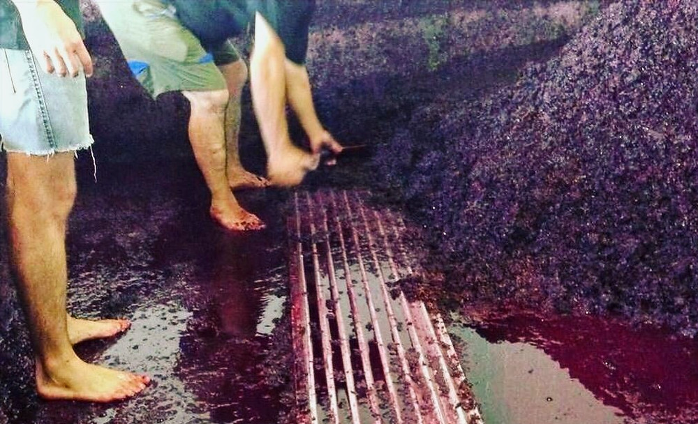 Grape-stomping at Quinta de Tourais, Port Wine - Douro Portugal