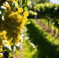Antão Vaz Grape Variety   A force to be reckoned with