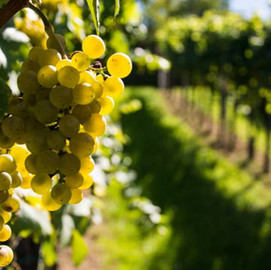 Antão Vaz Grape Variety | A force to be reckoned with