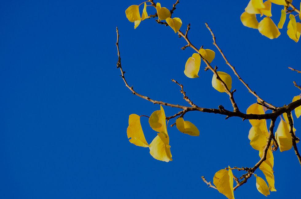 Yellow-autumn-leaves-719127_edited.jpg