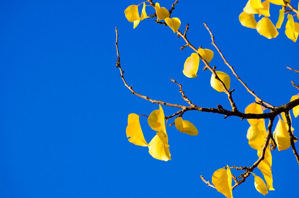 Yellow-autumn-leaves-719127.jpg