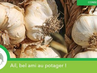 L'AIL, UNE PLANTE BIENFAITRICE !