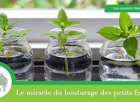 Le miracle du bouturage des petits fruitiers