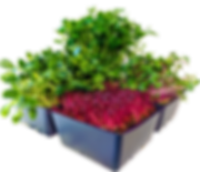 Example of our home microgreen delivery containers. Deliveed live, stll in soil, for your to cut and enjoy!