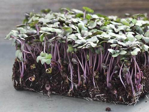 100% Powdered Red Cabbage Microgreens - The Original Dehydrated Microgree