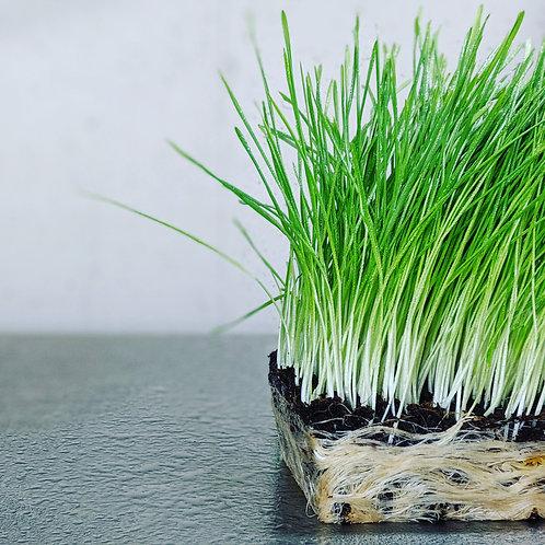 100% Powdered Whole-Plant Wheatgrass - The Original Powdered Microgreens™