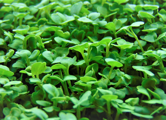 Arugula - MICROGREENS Seeds - NON GMO
