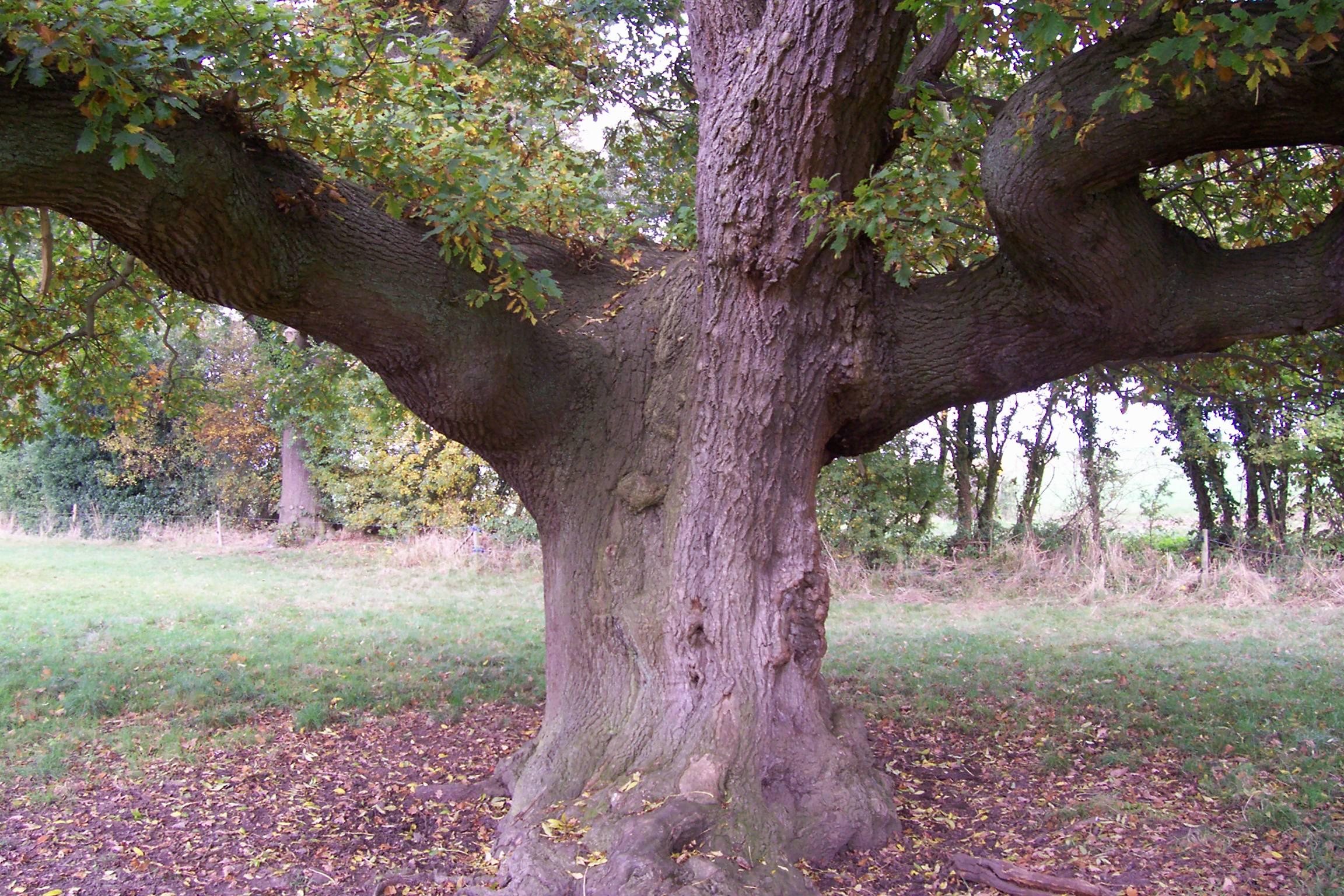Oak & Ash
