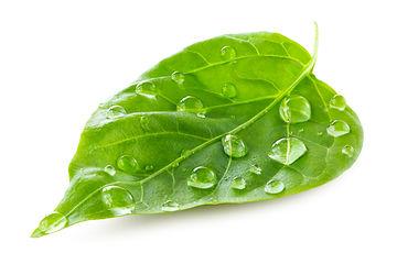 green-leaf-PRU6S67.jpg