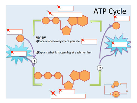 Photosynthesis: ATP and ADP Cycle