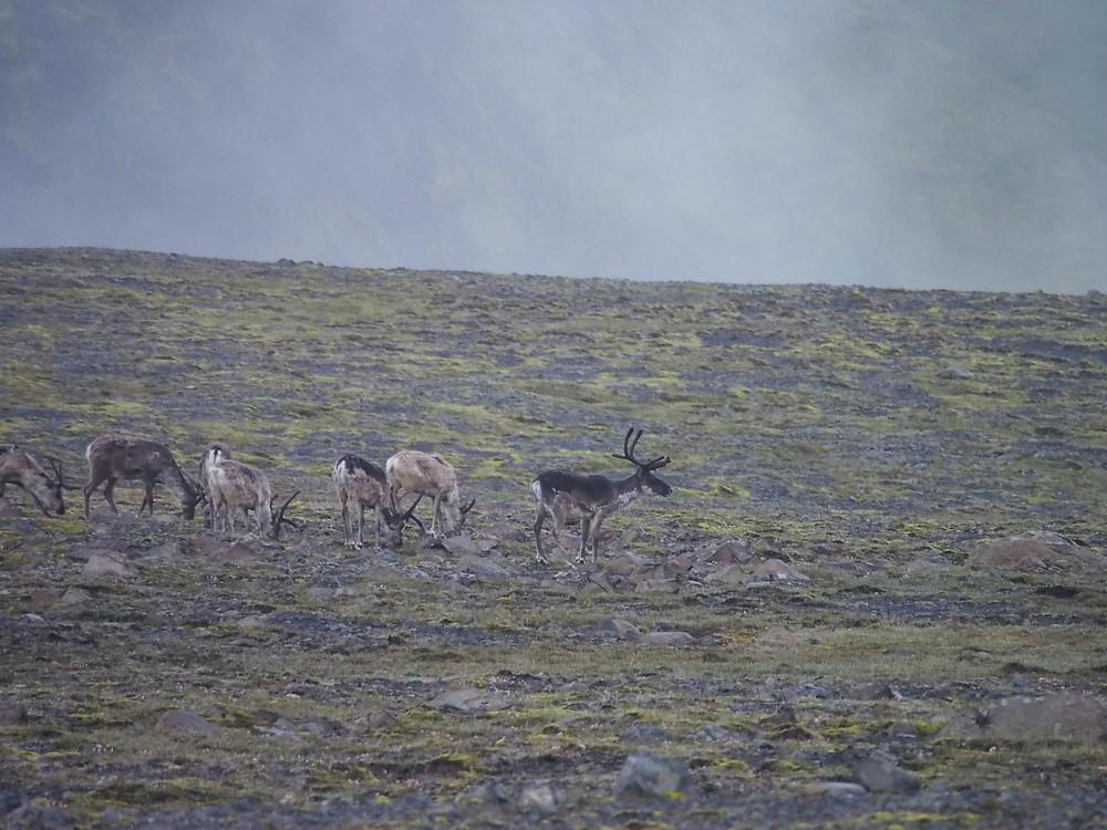 Reindeer in Lónsöræfi