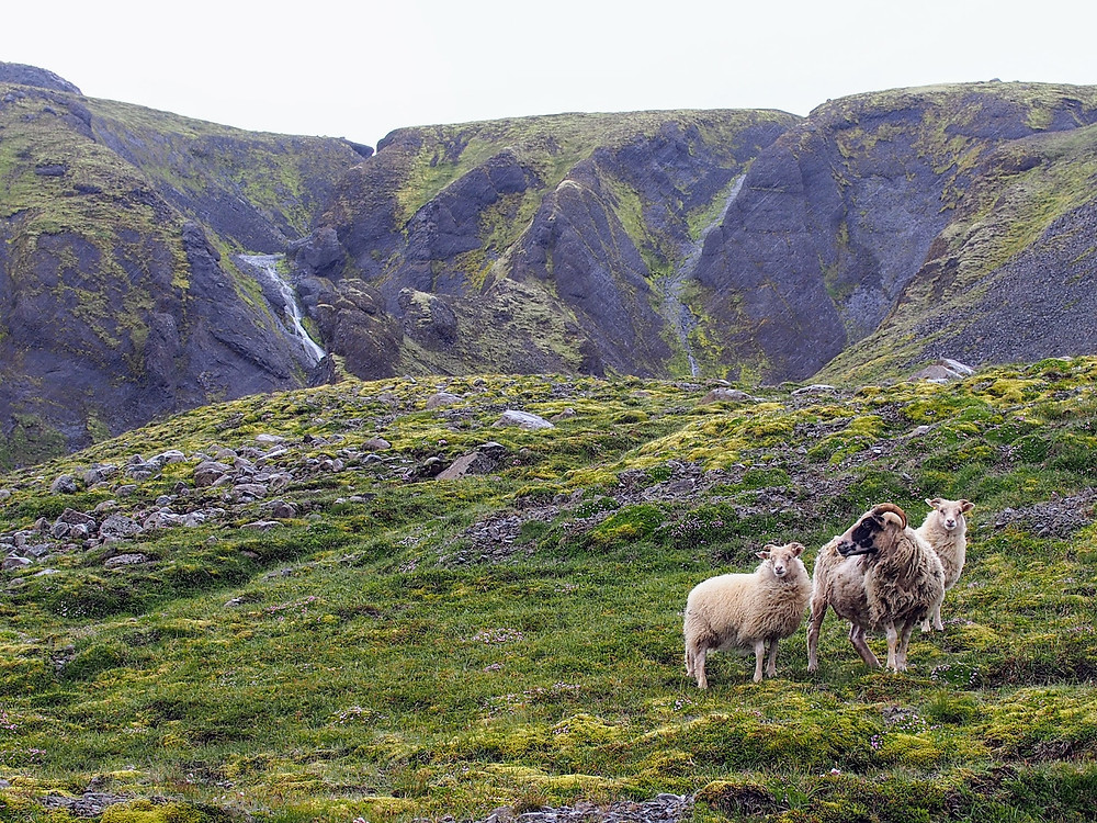 Sheep in Lónsöræfi
