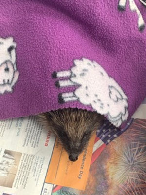 snuggly hog.jpg