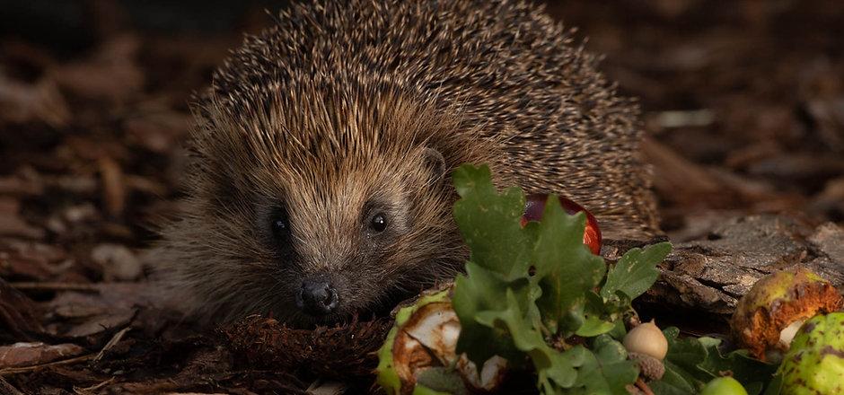hedgehogs-184-2.jpg