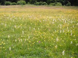 Species rich meadows