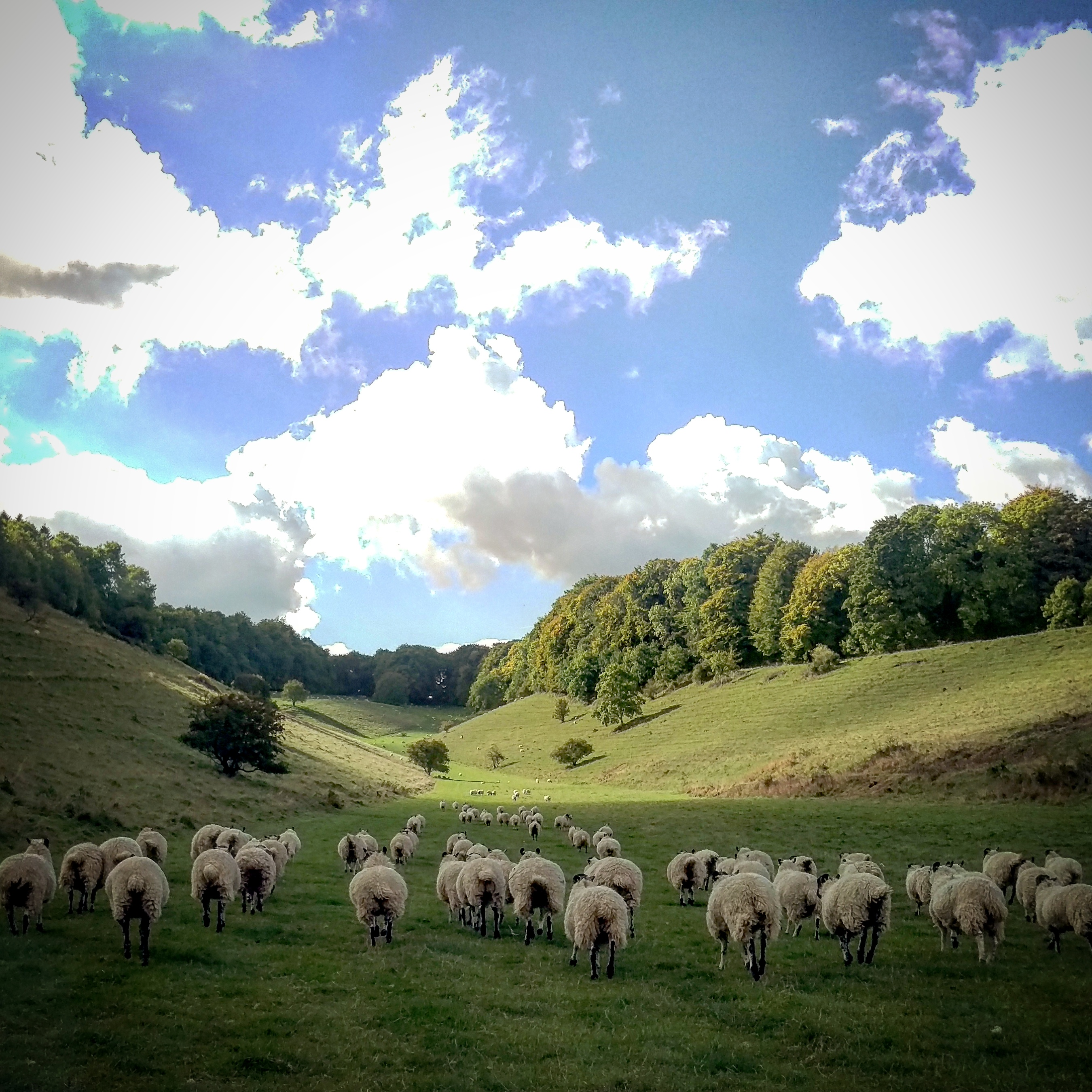 Sheep on rare chalk grassland