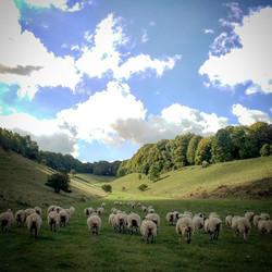Sheep on rare chalk grassland