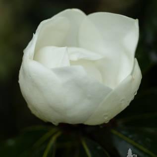 Magnolia Florwer