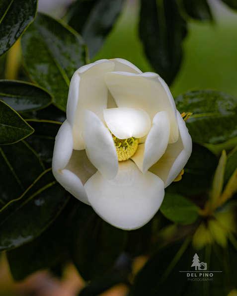 Rainiy day Magnolia flower