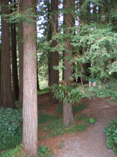 Redwoods in Occidental, Sonoma County, CA